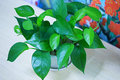 Devil s ivy plant scientific name arum golden pothos hunter robe Stock Image
