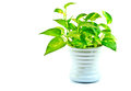 Devil s ivy on white background has many name arum golden pothos hunter robe Stock Photo