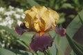 Devils Riot Tall Bearded iris