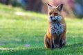 Devious fox with shifty eyes in a green grassy meadow in the morning sun Royalty Free Stock Photo