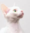 Devon Rex Royalty Free Stock Photography