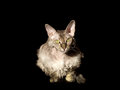 Devon rex cat on black backgound see my other works in portfolio Stock Photo