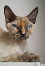 Devon rex cat with blue eyes Stock Photos