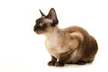 Devon rex cat lying down and looking to the left on a white background seen from the side Royalty Free Stock Photo
