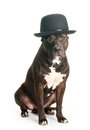 Devoted dog american staffordshire terrier in derby hat Stock Image