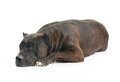 Devoted dog staffordshire terrier is lying Royalty Free Stock Photography