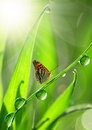Dew and butterfly Royalty Free Stock Image