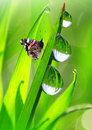 Dew and butterfly Royalty Free Stock Photo