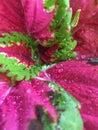 Dew-covered Coleus