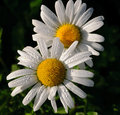 Dew drenched daisies in the morning sun a pair of glisten early sunlight Royalty Free Stock Photography