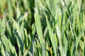 Dew drop on green wheat close up Stock Images
