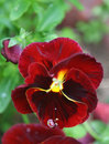 Dew drop on pansy's petal Royalty Free Stock Images