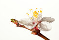 Dew drops on apricot flower Royalty Free Stock Photo