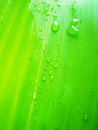 Dew drops on bamboo leave Royalty Free Stock Photo