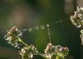 Dew Drops Closeup On Spider Web