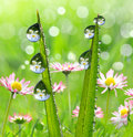 Dew drops fresh grass with in the background of the daisies Stock Photo
