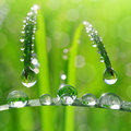 Dew drops fresh grass with close up Stock Photography