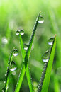 Dew drops fresh grass with close up Stock Photo