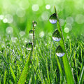Dew drops fresh grass with close up Royalty Free Stock Photos