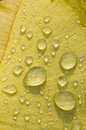 Dew drops on Gingko biloba tree leaf Royalty Free Stock Photo