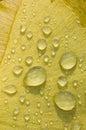 Dew drops on Gingko biloba tree leaf Royalty Free Stock Photo