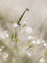 Dew drops on grass blade in the early morning with beautiful len and reflections a grassland Royalty Free Stock Image