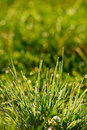 Dew Drops On Green Grass Royalty Free Stock Photo
