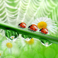 Dew drops with ladybugs in the background of the daisies Stock Image