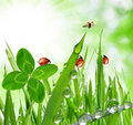 Dew drops and ladybugs fresh grass with close up Stock Photos