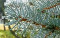 Dew drops on the pine spruce needles Royalty Free Stock Photo