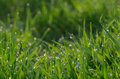Dew on green grass droplets of fresh Stock Images