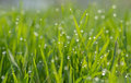 Dew on green grass droplets of fresh Royalty Free Stock Images