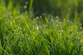 Dew on green grass droplets of fresh Royalty Free Stock Photo