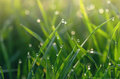 Dew on green grass droplets of fresh Royalty Free Stock Image