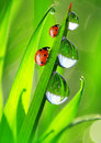 Dew and ladybird fresh morning Royalty Free Stock Photography
