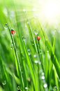 Dew and ladybirds fresh morning Royalty Free Stock Image
