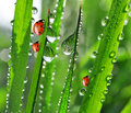 Dew and ladybirds fresh morning Royalty Free Stock Photo