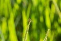 Dew on rice field dragonfly with green Stock Photo