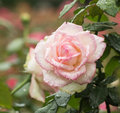 The dew of a rose early in morning delicate soft petals show charming beauty Stock Photos