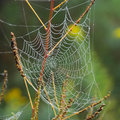 Dew on spider web Royalty Free Stock Photo