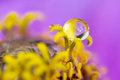 Dewdrop on the anthers a single sits atop delicate yellow of this zinnia flower oregon usa Stock Photography