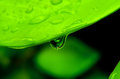 Dewdrop drop of water falling from green leaf Stock Photo