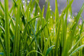 Dewdrops on grass Royalty Free Stock Images