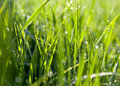 Dewdrops on green grass Royalty Free Stock Photography