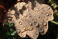 Dewdrops on oak autumn leaf of Stock Photos