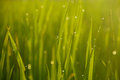 Dews on the green morning rice field Stock Image
