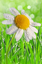Dewy daisy green grass with Stock Image