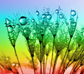 Dewy dandelion flower close up Stock Photos