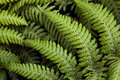 Dewy Ferns Royalty Free Stock Photography