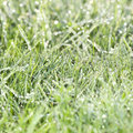Dewy grass Royalty Free Stock Photography